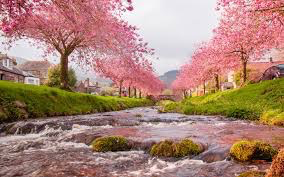 Japan Cherry Blossoms